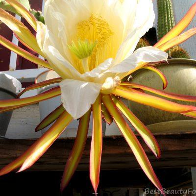DragonFruit Flower!!