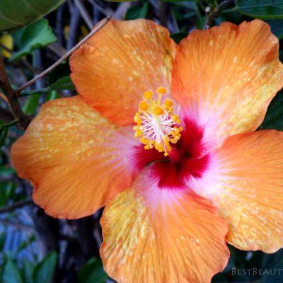 orangehibiscus